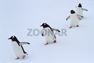 Gentoo penguin group walking in the snow Antarctic islands