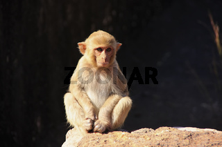 Rhesus macaque sitting at Taragarh Fort, Bundi,  India
