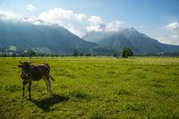 Allgäuer Braunvieh, Hausrindrasse (Bos primigenius taurus), Wiese bei Füssen, Ostallgäu, Allgäu, Bayern, Deutschland, Europa