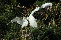Silberreiher Kolonie bei Whataroa New Zealand