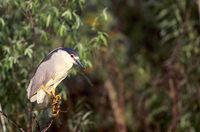 Black-crowned Night Heron in breeding plumage