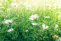 Amazing sunrise at summer meadow with wildflowers. Nature floral background in vintage style