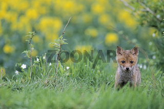 Jungfuchs aeugt aufmerksam zum Fotografen - (Rotfuchs - Fuchs) / Red Fox kit looking intently towards to the photographer - (European Red Fox) / Vulpes vulpes