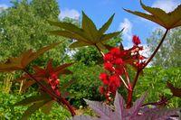Wunderbaum - castor oil plant 24