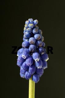 Traubenhyazinthe, Muscari latifolium,