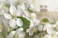 Apple blossoms with farm house in background