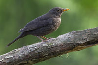 Common Blackbird adult female sitting on a branch