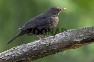 Amsel Weibchen sitzt auf einem Ast - (Schwarzdrossel) / Common Blackbird adult female sitting on a branch -  (Ouzel) / Turdus merula