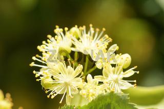 Tilia cordata, Winterlinde, Small-leaved lime