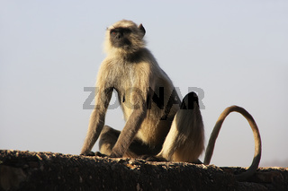 Gray langur sitting at Taragarh fort, Bundi, India