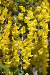 Laburnum anagyroides, Goldregen, Golden chain