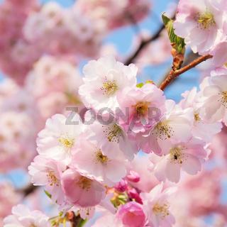 Kirschblüte rosa - cherry blossom 40