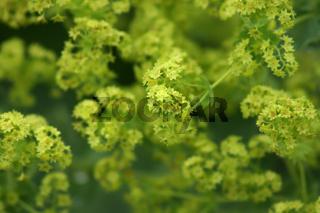Frauenmantel,  Alchemilla vulgaris