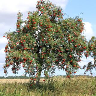 Zweige mit reifen Vogelbeeren, Sorbus aucuparia