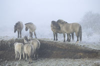 Heck Horse stallions and foals in hoarfrost