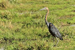 Goliathreiher in Amboseli