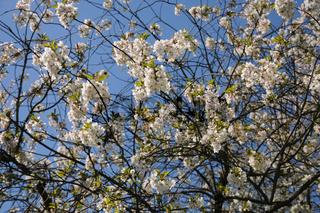 Prunus cerasus, Sauerkirsche, Sour cherry