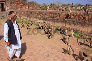 Indian man standing near gray langurs at Ranthambore Fort, India