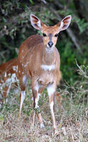 Bushbuck in South Africa