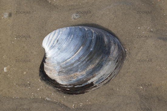 Ocean quahog, Icelandic cyprine