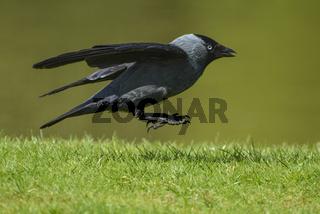 Dohle, Western Jackdaw, Corvus monedula