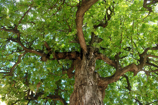 carob treetop