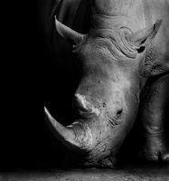 Rhino in Black and White