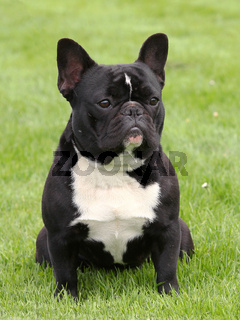 Black French Bulldog on a meadow