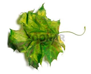 Yellowed maple-leaf on white background