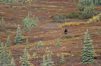 Bull Moose wandering in the tundra