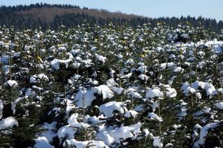weihnachtsbaeume im sauerland.jpg
