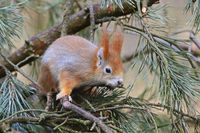 Eichhörnchen (Sciurus vulgaris), Brandenburg, Deutschland