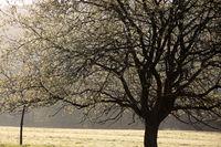 Tree in spring at sunrise