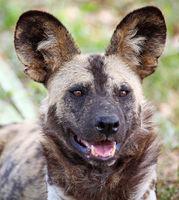 rare Wild Dog, South Africa