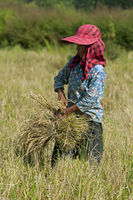 Harvesting of rice, Battambang, Cambodia