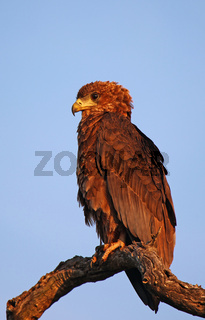 Junger Gaukler, Kruger Nationalpark, Südafrika, wildlife, juvenile bateleur eagle, Terathopius ecaudatus, Kruger NP, South Africa