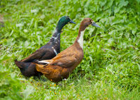 Two different genders ducks on meadow