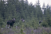 Cow Moose and calf on the Hunneberg