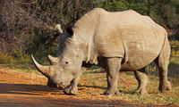 white rhinoceros, Marakele NP, South Africa