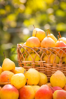 Basket with yellow pears in autumn