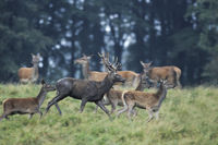 Red Deer stag, hinds and calfs escaping