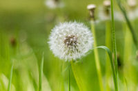 Dandelion close on a meadow