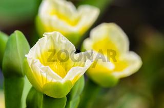 Yellow flower of Limnocharis flava