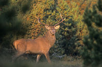 Red Deer hart stands in a swathe in morning light