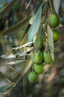 olive tree branch
