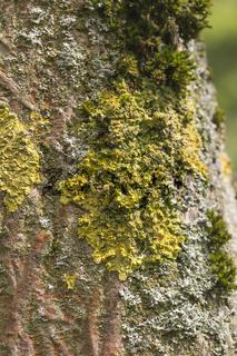 Broussonetia papyrifera, Papiermaulbeerbaum