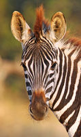 young Zebra, South Africa