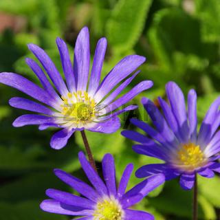 Anemone blau - Grecian windflower 02