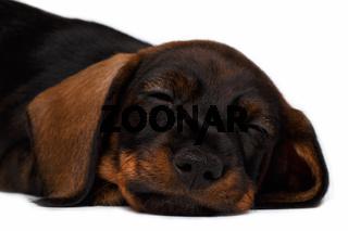 close-up Dachshund puppy