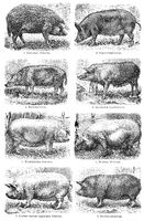 Breeds of domestic pigs, 19th Century
